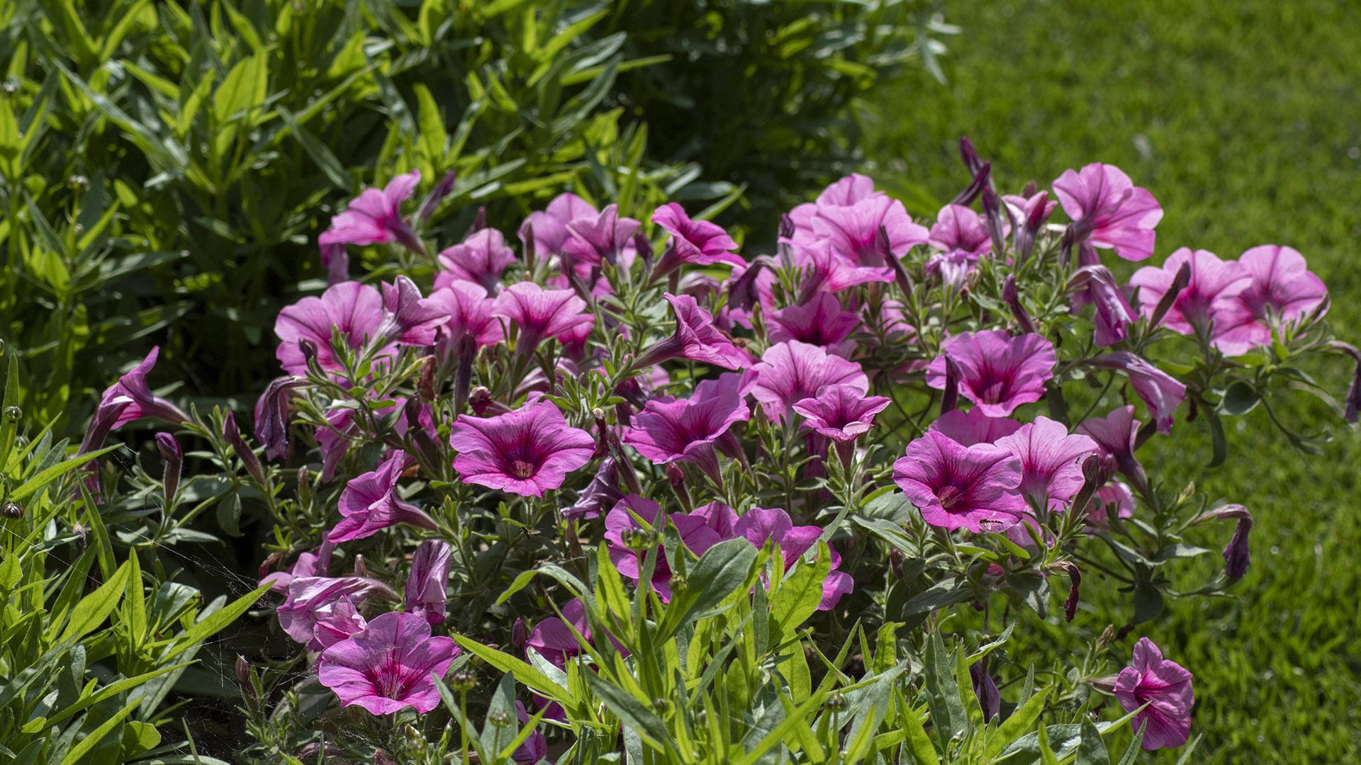 Giardino fiori rosa